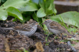 Adult Chipping Sparrow feeding juvenile