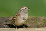 American Tree Sparrow, fall