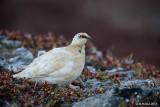 Rock Ptarmigan, male, Nome, Alaska
