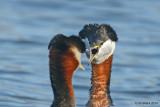 Courting Red-necked Grebes, Donna Birkmaier Park, Saskatoon