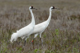 Whooping Cranes, Rockport, Texas