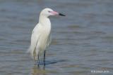 Reddish Egret, White Phase, Corpus Christi