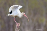 White Ibis, Missouri City, Texas