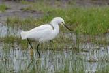 Snowy Egret, Missouri City, Texas