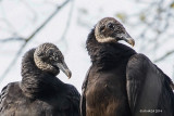 Vultures, Eagles and Hawks