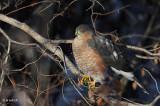 Cooper's Hawk, Heritage Park, Saskatoon, Saskatchewan
