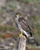 Sharp-shinned Hawk, Blackstrap, Saskatchewan