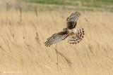 Northern Harrier, Morse, Saskatchewan