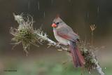 Northern Cardinal, female, Texas