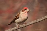 Cassin's Finch, male, Kelowna, British Columbia