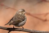 Cassin's Finch, female, Kelowna, British Columbia