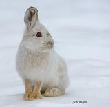 Snowshoe Hare, Pike Lake, Saskatchewan
