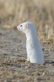 Weasel near Blackstrap