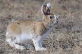 Snowshoe Hare, Pike Lake Provincial Park