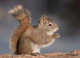 Red Squirrel, Pike Lake Provincial Park, Saskatchewan