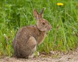 Snowshoe Hare, Gabriel Dumont Park, Saskatoon