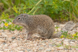 Franklin's Ground Squirrel, Gabriel Dumont Park, Saskatoon