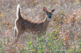 White Tailed Deer, near Blackstrap