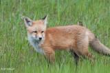 Red Fox, juvenile, Saskatoon