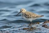 Shorebirds and Oystercatchers