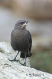 Brewer's Blackbird, North-western Crow and European Starling