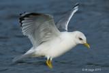 Gulls of British Columbia