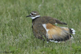 Killdeer displaying trying to draw me away from the nest
