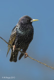 Starlings, Pipits and Waxwings