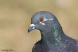 Doves, Pigeons and Cuckoos