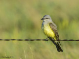 Kingbirds and Phoebes