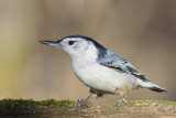Chickadees, Nuthatches and Titmice