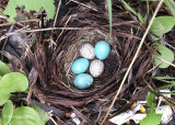 Veery nest with two cowbird eggs