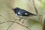 Black-throated Blue Warbler, male