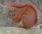 Egern - Squirrel