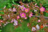 Rosa elegantula, 'Persetosa' - 'Threepenny Bit Rose'