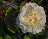 Rosa 'Winchester Cathedral'