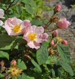 Mumiekransrosen  -  Rosa richardii.