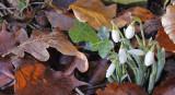 Galanthus nivalis - Vintergækker