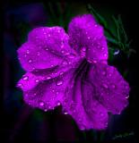 Mexican Petunia in the rain