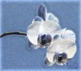 Blue Orchid - Juidth