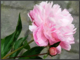 Pink Peony by Chris Duffy, June, 2016