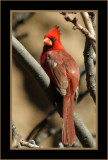 Cardinals, Buntings & Allies