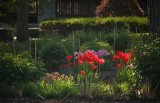red tulips in the sun