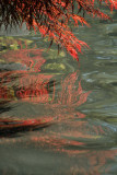 Japanese maple reflection
