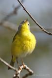 Paruline à joues grisesNashville Warbler
