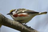 Paruline à flancs marron / Chestnut-sided Warbler