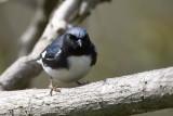Paruline bleueBlackthroated Blue Warbler