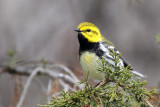 Parulines  / Warblers