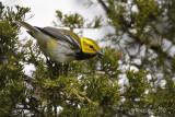 Paruline à gorge noireBlack-throated Warbler