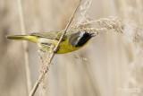 Paruline masquée / Common Yellowthroat